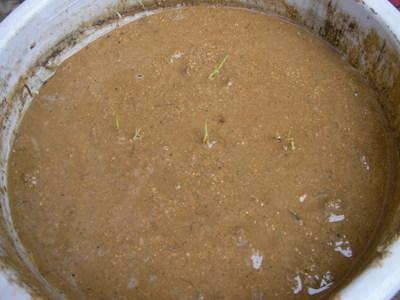 古代米をバケツに植えました